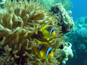 Red Sea anemonefish - also known as the clownfish