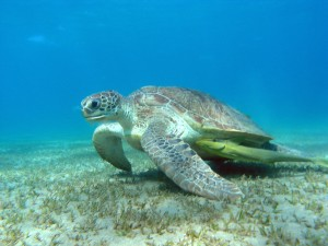 Turtle in the Red Sea
