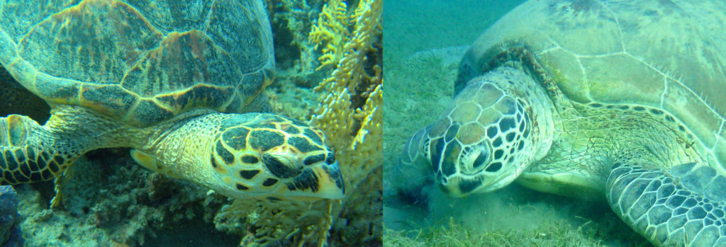 learn how to tell the difference between sea turtle species