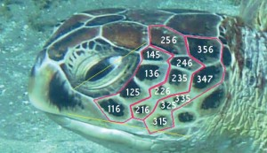 Method for green turtle observations