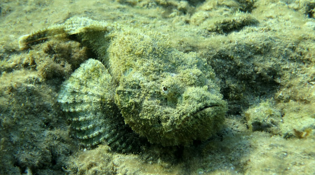 stonefish on shallow water