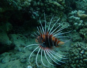 Clearfin lionfish with poisonous spines in the Red Sea