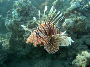 Lion fish, Red Sea