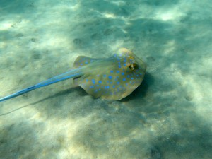Bluespotted stingray usually hang out on the sandy bottom in the Red Sea