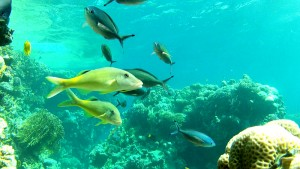 Yellowsaddle goatfish - An example from the Red Sea Slow-TV