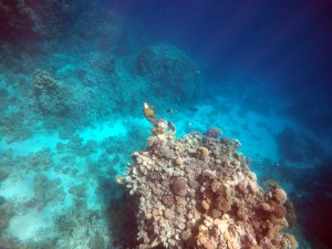 a coral head at about 10 meters depth in the Red Sea, Titan triggerfish eating corals