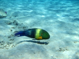 broomtail wrasse on sandy areas between coral heads