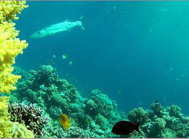 SLOW TV from the Red Sea - a Barracuda shows up