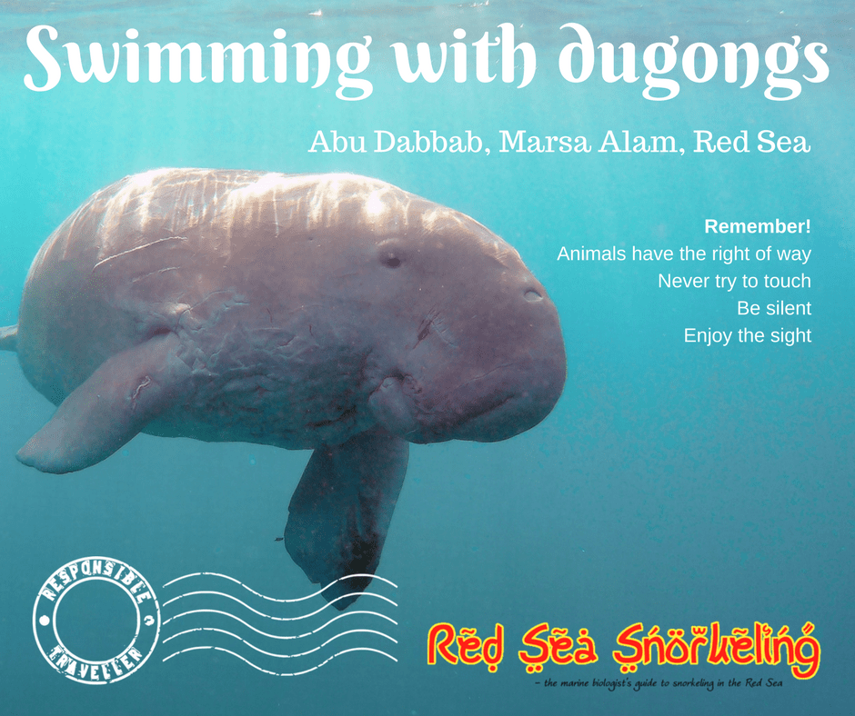 Be a responsible traveller - also when you snorkel with dugongs