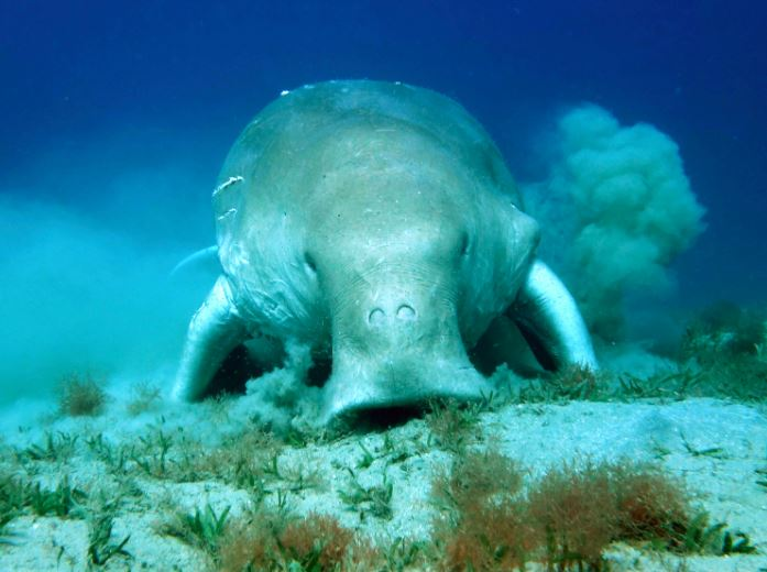 Dugong in Marsa Alam, Red Sea, Egypt
