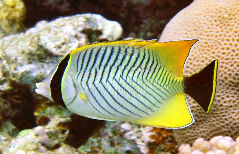 chevron butterflyfish from the Red Sea